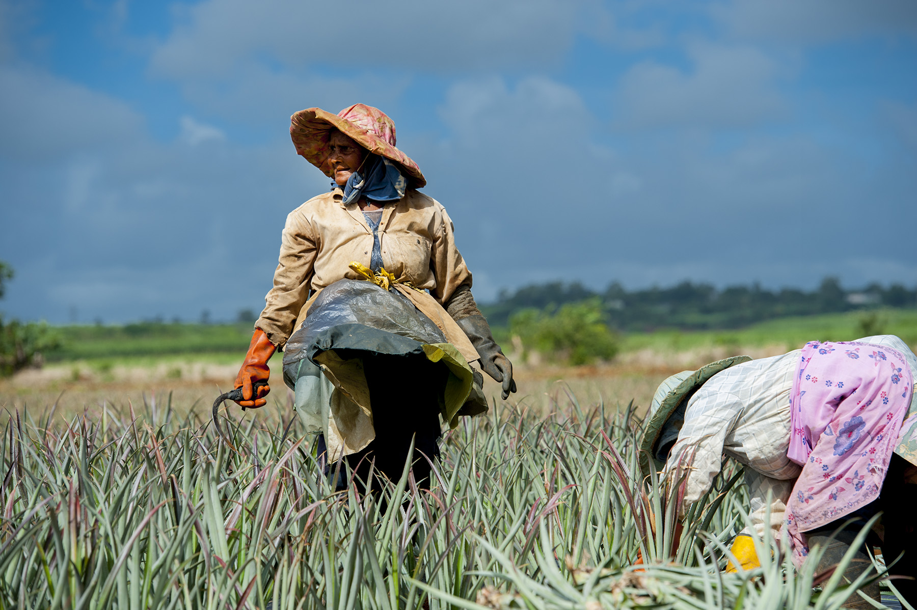 mauritius_pineapple-harvest_
