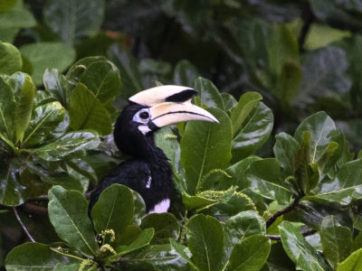 Malysia_Borneo_Bunga Raya_Hornbill-
