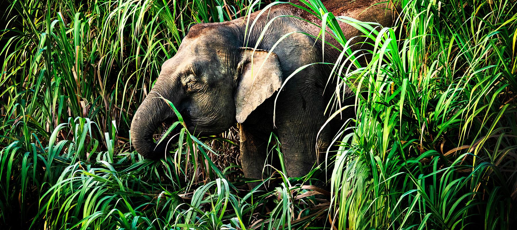 Borneo, skogselefanter, regnskog, safari, djur, kinabatangan river, malaysia
